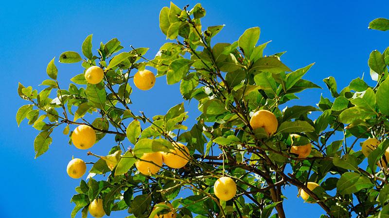 果樹が好き!レモンとブルーベリーを育て始めました。